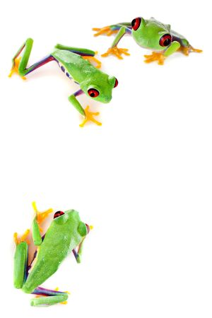 redeyed tree frog: Young red eyed tree frogs isolated on a white page