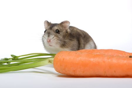 hamsters: Little white and brown hamster with a large carrot Stock Photo
