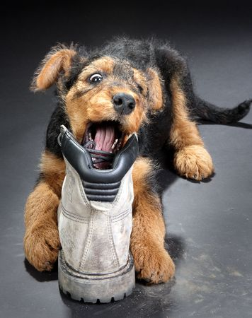 bit: 8 weeks old little airedale terrier puppy dog chewing on a big boot Stock Photo