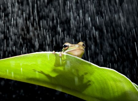 green tree frog: Little green tree frog sitting on a banana leaf in the rain
