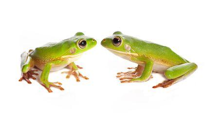 green tree frog: Sitting white-lipped tree frogs or Litoria Infrafrenata isolated on white Stock Photo