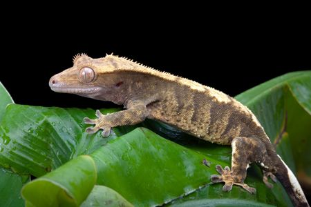 crested gecko: New Caledonian Crested Gecko sitting on a banana leaf Stock Photo