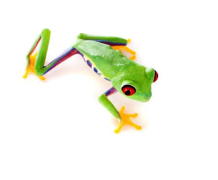 redeyed tree frog: Red eyed tree frog isolated on white