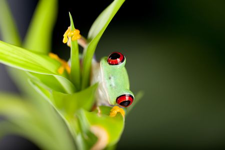 Red eyed tree frog on bamboo branch photo