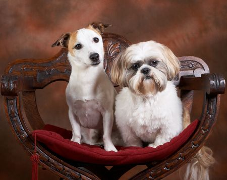 Two small dogs posing, a jack russel and a shih-tzu Stock Photo - 5954095