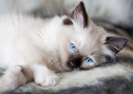 Seal point mitted ragdoll kitten lying on a soft fur