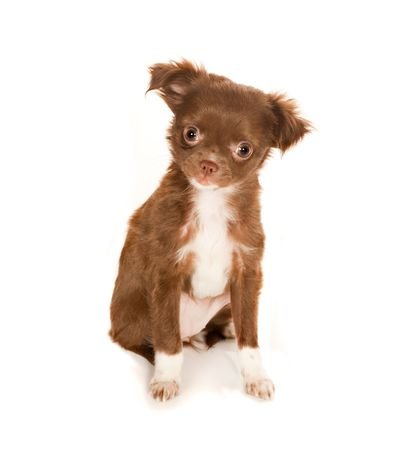 Brown longhaired Chihuahua puppy on a white background Stock Photo - 5989592