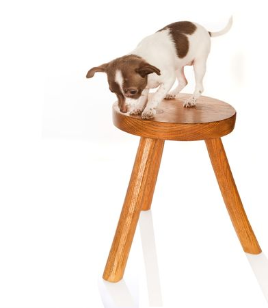 Chihuahua puppy with vertigo on a wooden stool photo