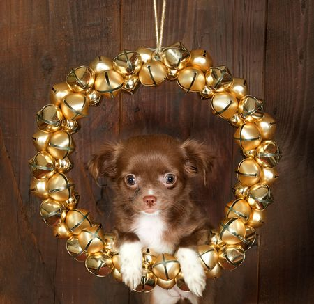 minuscule: Christmas decoration with golden bells and a puppy chihuahua dog