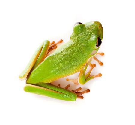 amphibians: Top view on a white-lipped tree frog or Litoria Infrafrenata isolated on white