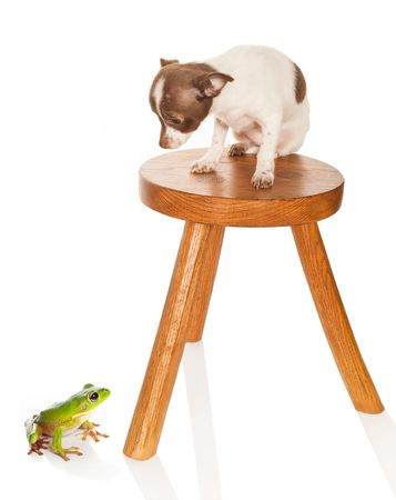 Scared chichuahua puppy on a stool looking at a big green frog Stock Photo - 6039033