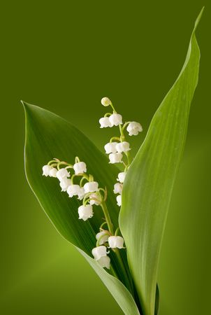 Bunch of lilly of the valley against green background photo