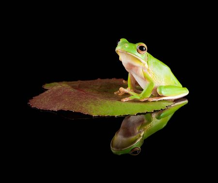 water lily: White-lipped tree frog or Litoria Infrafrenata sitting on a leaf