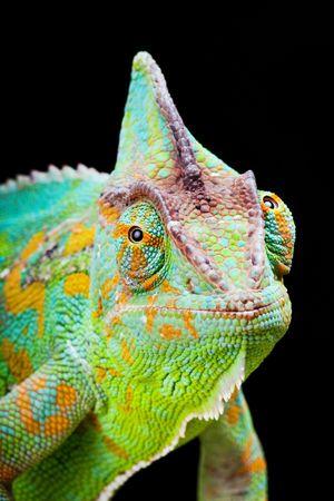 chameleon lizard: Yemen or Veiled Chameleon sitting on a cactus leaf