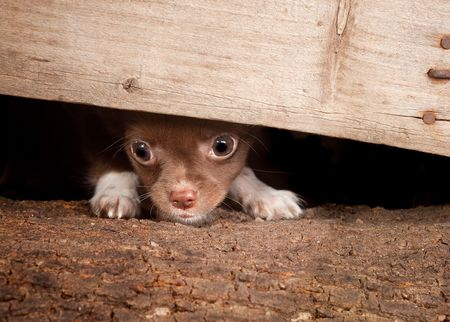 minuscule: Little puppy chihuahua dog trying to get under a wooden fence Stock Photo