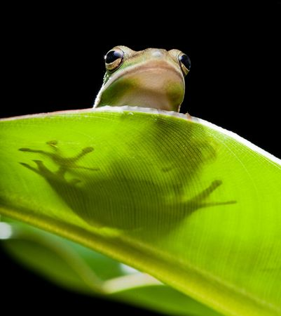 Little green tree frog sitting on a banana leaf photo