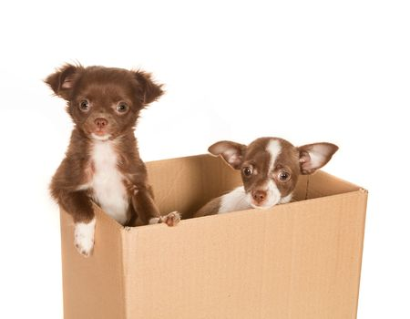 minuscule: Two puppy chihuahua dogs in a brown paper box Stock Photo