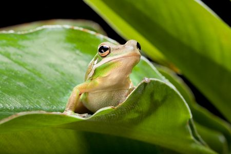 green tree frog: Green Tree Frog sitting on a plant leaf