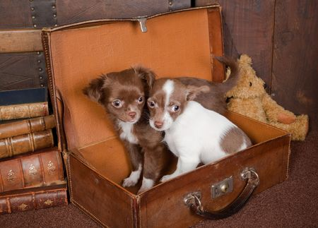 Old vintage suitcase with a teddy bear and two puppy chihuahua dogs Stock Photo - 6158019