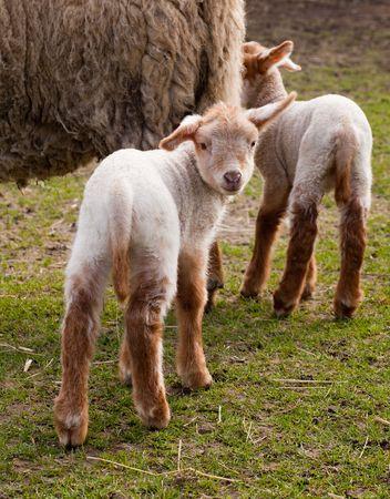 hanging around: Corderos de gemelos reci�n nacidos en primavera colgando alrededor de su madre