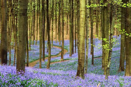 early: Curving path through a blue carpet of bluebells in springtime