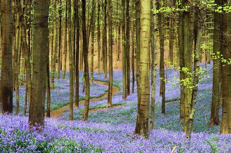 buche: Gekr�mmte Pfad durch einen blauen Teppich von Bluebells im Fr�hling