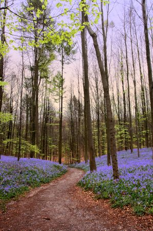 Forest path in the Hallerbos woods in Belgium, with millions of bluebells photo