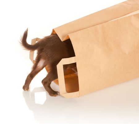Tiny chihuahua puppy looking into a brown paper bag photo