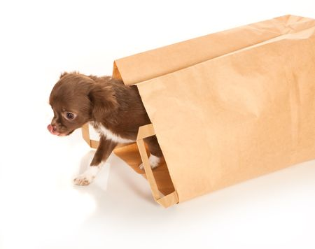 Tiny chihuahua puppy coming out of a brown paper bag Stock Photo - 6297134