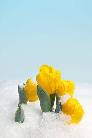 Yellow spring tulips blooming in the snow photo