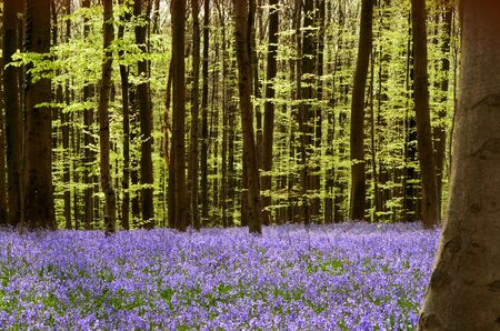 Soft green spring foliage and millions of wild hyacinths photo