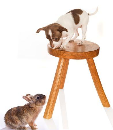 Chihuahua puppy on a stool looking down at a baby rabbit Stock Photo - 6341822
