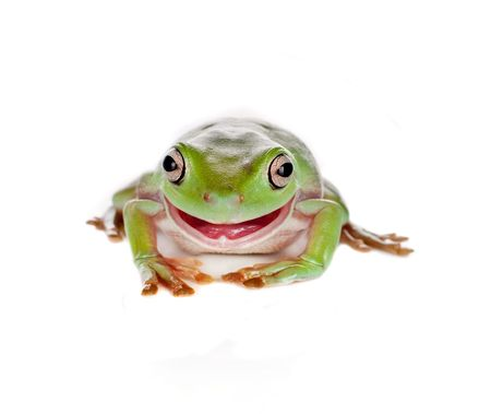 green tree frog: Green tree frog pulling a smiling face isolated on white