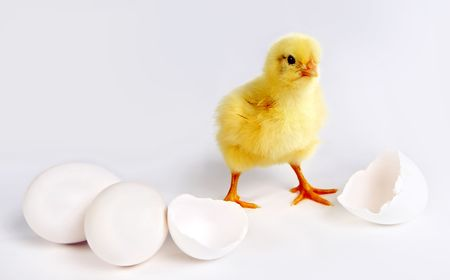 Little yellow easter chick, 24 hours old, two closed eggs and two halve egg shells Stock Photo - 6382826