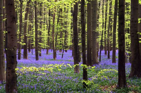 Young green tree leaves above a carpet of bluebells photo