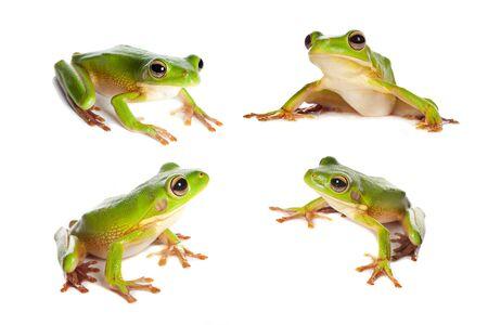 treefrog: Four sitting white-lipped tree frogs or Litoria Infrafrenata isolated on white