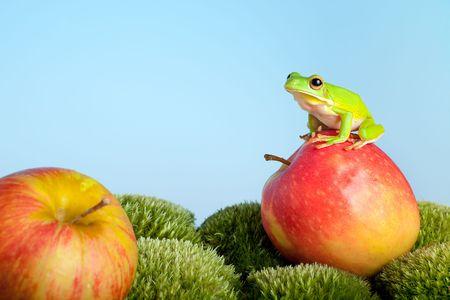 White-lipped tree frog or Litoria Infrafrenata Stock Photo - 6431313
