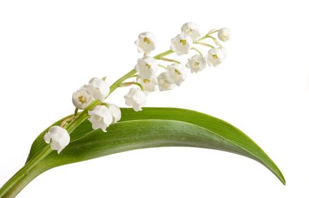 lily of the valley: Twigs of Lilly-of-the-valley isolated against white Stock Photo