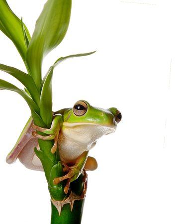 treefrog: White-lipped tree frog or Litoria Infrafrenata isolated on bamboo branch Stock Photo
