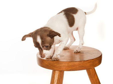 vertigo: Chihuahua puppy with vertigo on a wooden stool