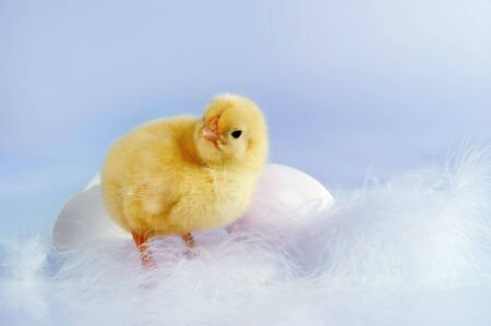 Two eggs and an easter chick against a soft blue background Stock Photo - 6529713