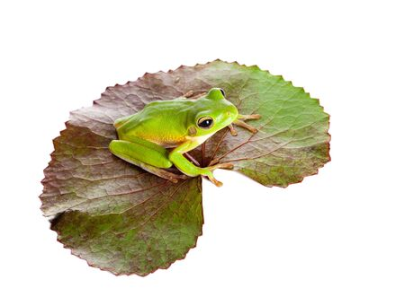 water lilly: White-lipped tree frog or Litoria Infrafrenata sitting on a leaf