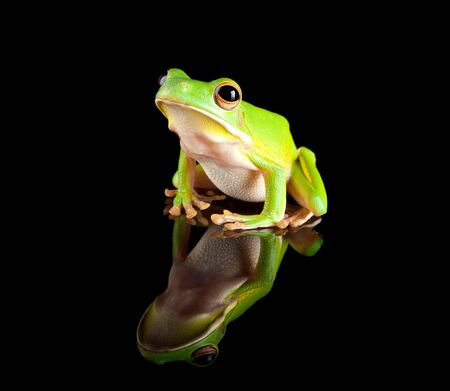 tree frog: White-lipped tree frog reflected on a black background