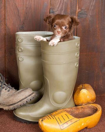 three months old: Big boots with a three months old chihuahua puppy Stock Photo