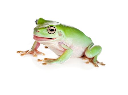 green tree frog: Funny green tree frog pulling faces isolated on white Stock Photo