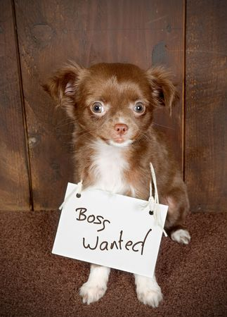 Three months old puppy chihuahua dog looking for a new boss photo