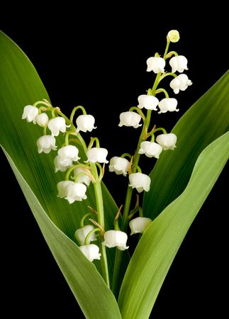 muguet: Twigs of muguet or lilly of the valley