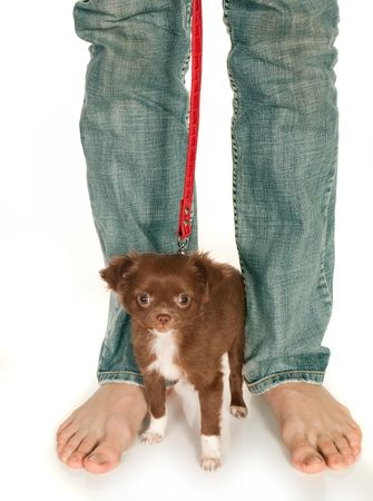 Tiny chihuahua puppy standing at his boss' large feet Stock Photo - 6700291