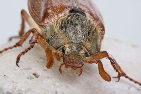 scavenging: Beautiful specimen of a maybug in springtime