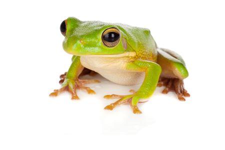 exotic frog: Sitting white-lipped tree frog or Litoria Infrafrenata isolated on white